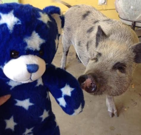 Billy Bob with Claire Lungwitz's pig. Lungwitz handles his Instagram account which is @billybobthebear